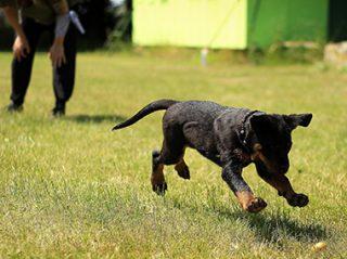 dog training fetch at puppy school