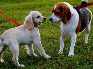 puppy school dog training puppy in park