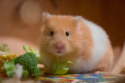 hamster eating rodent health