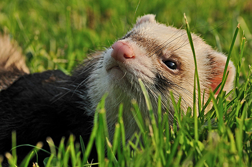 ferret playing in grass