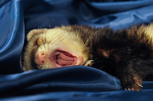 ferret dentistry tooth teeth care