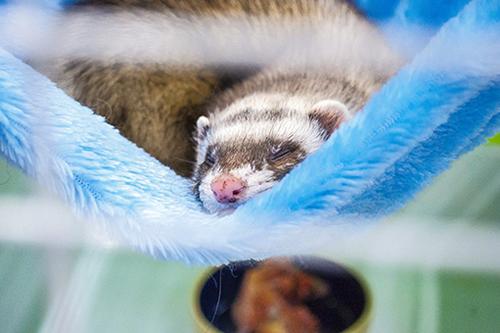 sleeping ferret at vet clinic