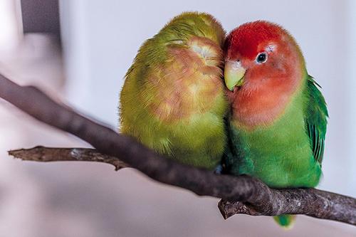 lovebirds avian vet care