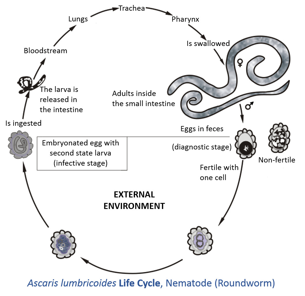 intestinal worms worming wormer life cycle