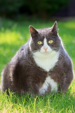 overweight cat dog