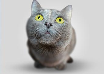 CAT DESEXING