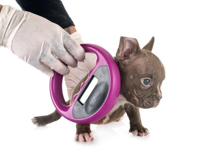 puppy getting microchipped